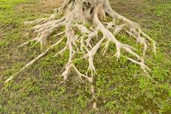 Große Baumwurzel Stockbild
