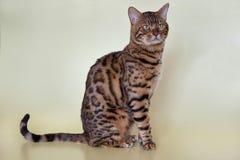 Große Bengal-Katze mit schönen grünen Augen Lizenzfreie Stockfotos