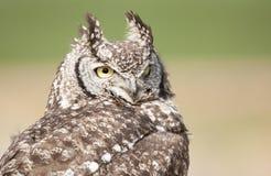 Große beschmutzte Eagle Owl-Starren Lizenzfreie Stockbilder