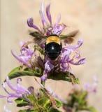 Große Biene und Busch Stockbild