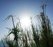Große Blätter und Niederlassungen des Reedgrases in der Front und des blauen Himmels des Türkises mit der großen Sonne, die über  Lizenzfreie Stockfotos