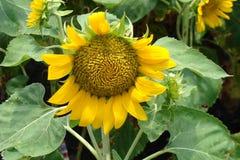 große blühende Sonnenblume Lizenzfreies Stockfoto