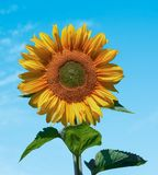 Große blühende Sonnenblume lizenzfreie stockfotos