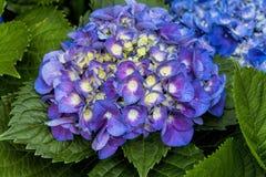 Große Blatt-Hortensien - Hortensie macrophylla Stockfotos