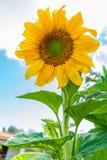 Große Blattsonnenblume über Himmel lizenzfreie stockfotografie