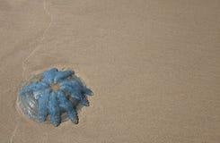 Große blaue Quallen auf weißem Sand Lizenzfreies Stockfoto