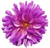 Große Blume rosa-violett, gelbe Mitte auf einem weißen Hintergrund lokalisiert mit Beschneidungspfad nahaufnahme große rauhaarige Stockfotos