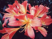 Große Blumen des Rosas und des Gelbs in der Gemeinschaft lizenzfreie stockfotografie