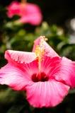 Große Blumenblätter der rosa Blume Stockfotos
