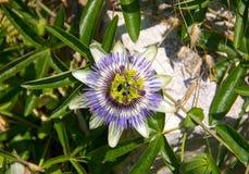 Große Blumenpassionsblume symmetrisch Stockfoto