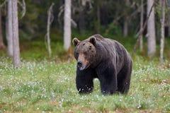 Große Braunbär Ursus arctos Stockfotos