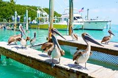Große braune Pelikane in Islamorada, Florida-Schlüssel Stockbilder
