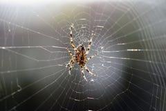Große braune Spinne in Spinnennetz 01 Stockbild