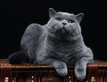 Große britische Katze, die auf Koffer liegt Lizenzfreies Stockfoto
