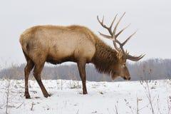 Große Bull-Elche am Snowy-Tag Lizenzfreie Stockfotos