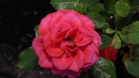 Große Burgunder-Rose wächst im Garten stock video