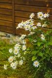 Große Buschgänseblümchen nahe dem Holzhaus Lizenzfreies Stockfoto