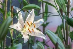 Große des Weiß Blume lilly Stockbild