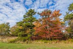 Große Eiche, Ahorn und Kiefer führen hellen Herbstlaub unter einem hellen blauen Himmel vor Lizenzfreie Stockfotos