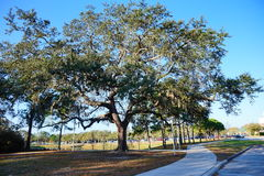 Große Eiche in Florida Lizenzfreies Stockbild