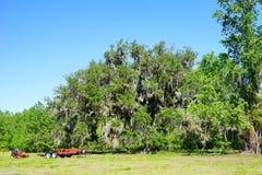 Große Eiche in Florida Stockfotografie