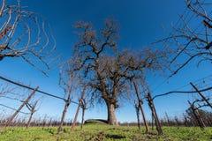 Große Eiche mitten in Weinrebefeld Stockfotografie