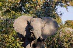 Große Elefantwarnung Lizenzfreies Stockbild