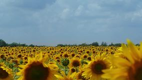 Große Ernte der Sonnenblume auf dem Gebiet Blumen fliegen auch Bienen stock video footage