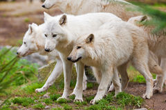 Große erwachsene arktische Wölfe Stockfoto