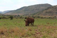 Große fünf - afrikanische Landschaft mit Hügeln und ein großes weißes weiden lassendes Nashorn stockfotos