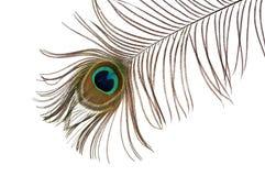 Große Feder des Pfaus mit einem dunkelblauen Auge Stockbilder