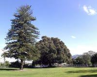 Große Feige und Norfolk-Insel-Kiefer Stockfoto