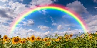 Große Feld-Sonnenblumen und Regenbogen Lizenzfreie Stockfotografie