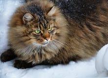 Große fette pelzartige nette Katze des grünen Auges im Winter Lizenzfreie Stockfotos