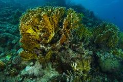Große Feuerkoralle innerhalb des korallenroten gargen lizenzfreie stockfotos