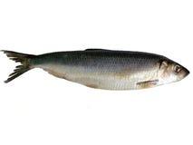 Große Fische Lizenzfreie Stockbilder