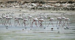 Große Flamingos im niedrigen Gezeiten- Wasser Lizenzfreies Stockbild