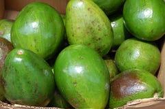 Große Florida-Avocados für Verkauf Lizenzfreie Stockfotografie