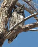 Große gehörnte Eule in einem Baum Lizenzfreie Stockfotografie