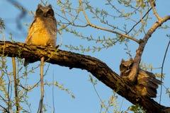 Große gehörnte junge Eulen in einem Baum Lizenzfreies Stockfoto