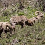 Große gehörnte Schafe Stockfotografie