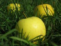 Große gelbe Äpfel auf einem Feld des grünen Grases Stockfoto