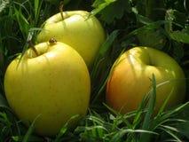 Große gelbe Äpfel auf einem Feld des grünen Grases mit einem kleinen Marienkäfer Lizenzfreie Stockfotografie