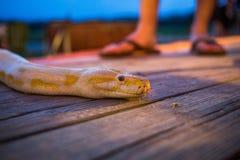 Große gelbe birmanische Pythonschlange, die auf den Boden kriecht lizenzfreies stockbild