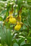 Große gelbe Dame-Pantoffel lizenzfreie stockfotografie
