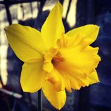 Große gelbe Narzisse lizenzfreies stockfoto