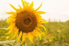 Große gelbe Sonnenblume Stockbild