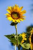 Große gelbe Sonnenblume Lizenzfreies Stockfoto