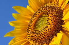 Große gelbe Sonnenblumen auf dem Gebiet gegen den blauen Himmel Lizenzfreies Stockbild