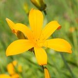 Große gelbe Taglilieblumen-Nahaufnahmeansicht lizenzfreie stockbilder